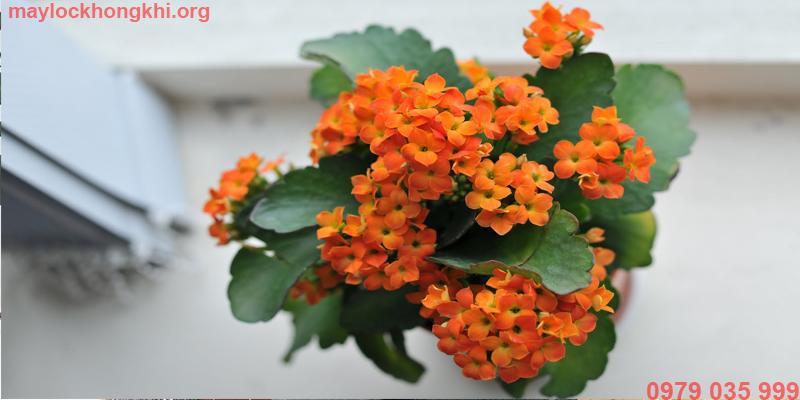 hoa sống đời lọc không khí