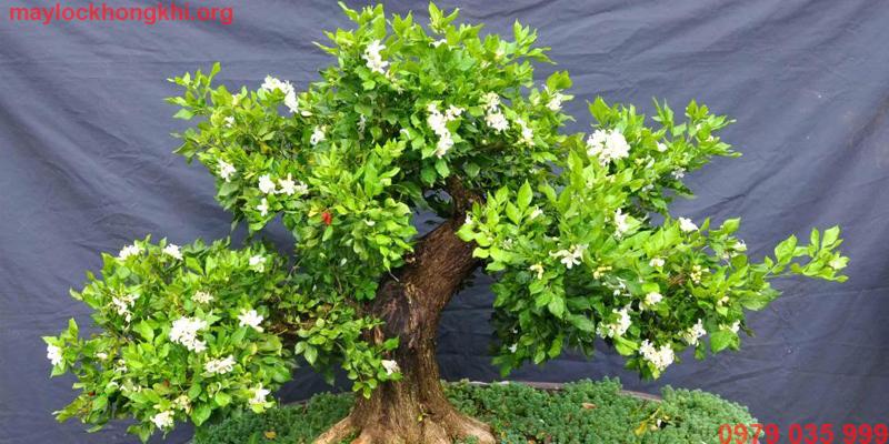 cây dương nguyệt quế lọc không khí