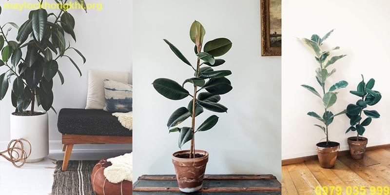 cây lọc không khí sung cao su