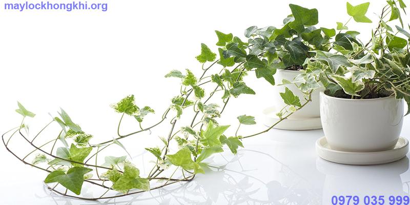 cây thường xuân lọc không khí