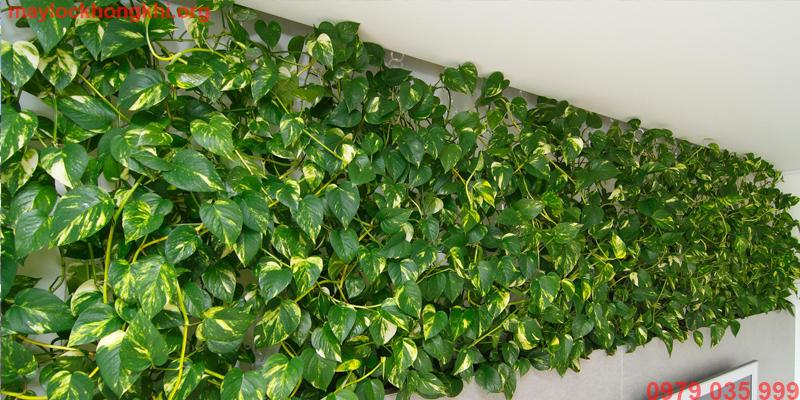 cây vạn niên thanh lọc sạch không khí